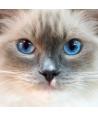 Gatto Occhi del Cielo