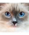 Cat with Blue sky eyes